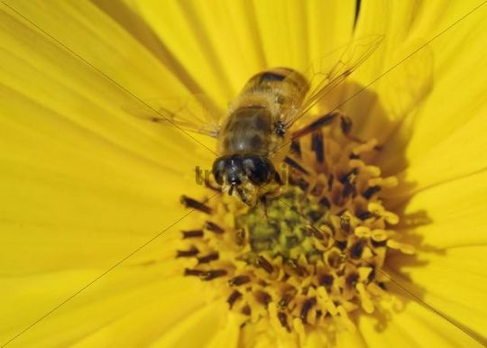 Hoverfly Eristalis lineata on the yellow blossom of a Jerusalem Artichoke or Sunroot or Sunchoke Helianthus tuberosus