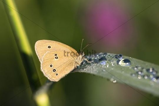 Ringlet Butterfly Aphantopus hyperantus on a reed with dew, Upper Bavaria, Germany, Europe