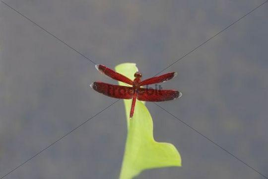 Dragonfly perched on a leaf, Putussibau, West-Kalimantan, Borneo, Indonesia, Southeast Asia