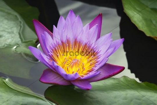 Flowering Blue Water Lily Nymphaea stellata, blossom