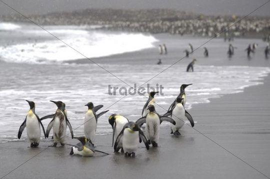 King Penguins Aptenodytes patagonicus on a beach, St. Andrews Bay, South Georgia