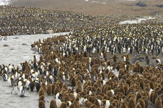 Colony of King Penguins Aptenodytes patagonicus, St. Andrews Bay, South Georgia