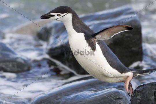 Chinstrap Penguin Pygoscelis antarctica, Ronge Island, Antarctica