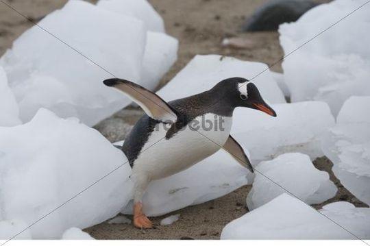 Gentoo Penguin Pygoscelis papua, Neko Harbour, Antarctica