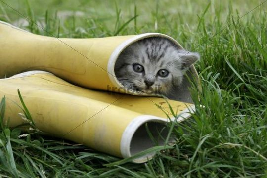 Kitten in rubber boot