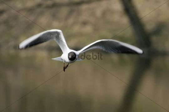Common Black-headed Gull Larus ridibundus, Ostrava, Czech Republic, Europe