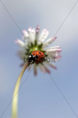 Seven-spotted Lady Beetle, 7-spot Ladybird Coccinella septempunctata, Coccinella 7-punctata on English Daisy, English Lawn Daisy, Lawn Daisy, lawndaisy Bellis perennis, Sidonie, White Carpathian M