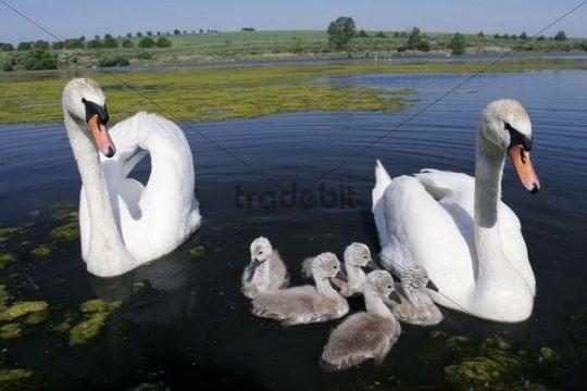 Family of Mute Swan Cygnus olor, Velke Bilovice, Breclav district, Czech Republic, Europe