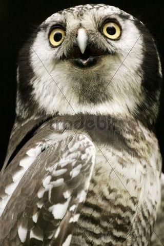 Northern Hawk Owl Surnia ulula