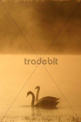 Mute Swans Cygnus olor, Novy Dvur, Pilsen-North district, Czech Republic, Europe
