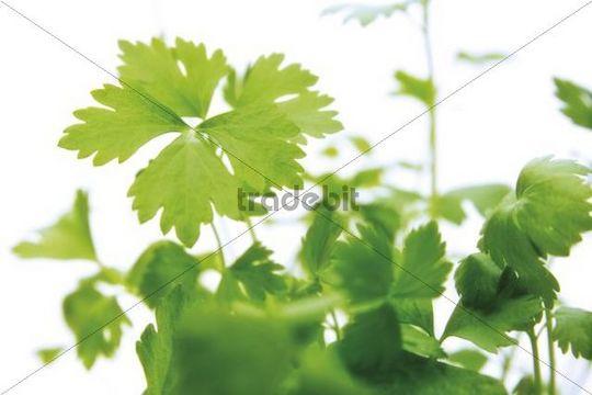Leaf Celery Apium graveolens var. secalinum, herb