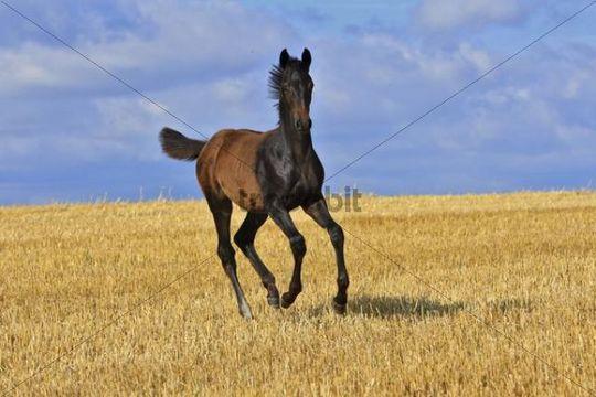 Frolicking foal on a stubble field