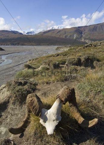 Dall Sheep Ovis dalli scull, Big Horn Creek behind, Donjek Route, St. Elias Mountains, Kluane National Park, Yukon Territory, Canada, North America