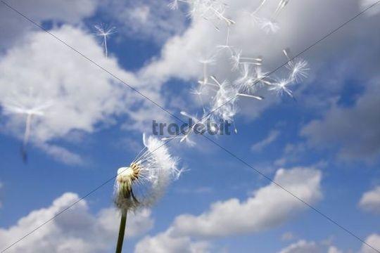 Blowball, Dandelion Taraxacum sect. Ruderalia