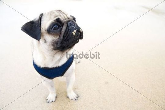 Young pug dog on the beach, wide-angle portrait, with sand on its nose