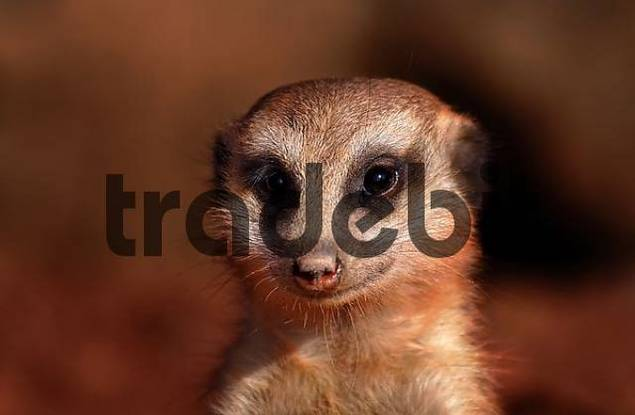 meerkat looking funny and curiously