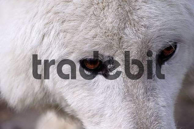 white wolf with brown eyes