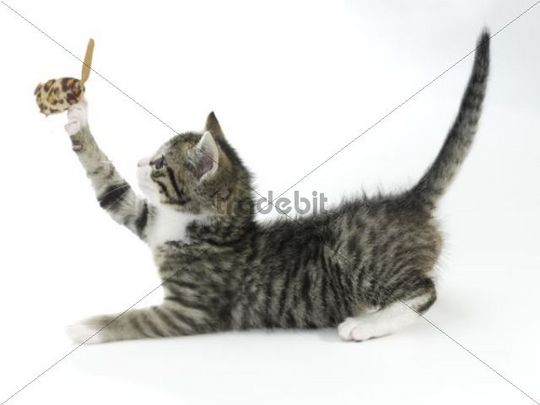 Kitten, domestic cat Felis silvestris catus, playing