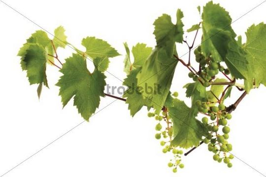 Grapevine with growing grapes