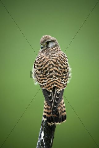 Common Kestrel Falco tinnunculus, young female perching on branch