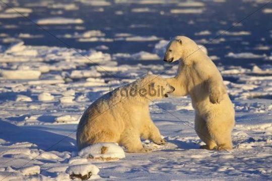 Polar Bears Ursus maritimus, playing, Churchill, Canada, North America