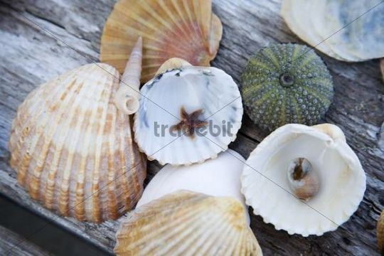 Mussels, snail shell, starfish and sea anemone on a wooden table