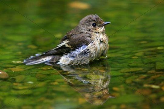European Pied Flycatcher Ficedula hypoleuca bathing in a stream