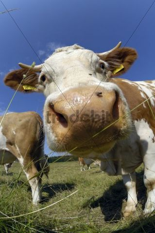 Cows on a pasture, cow looking into the camera, wide-angle view, Upper Bavaria, Germany, Europe