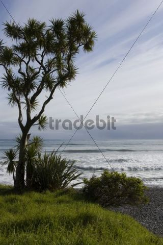 Palm on the overgrown green beach on the west coast, Karamea, South Island, New Zealand
