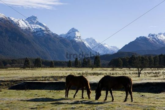 Grazing horses in a meadow with a view of the snow-covered Humboldt Mountains, Otago, South Island, New Zealand