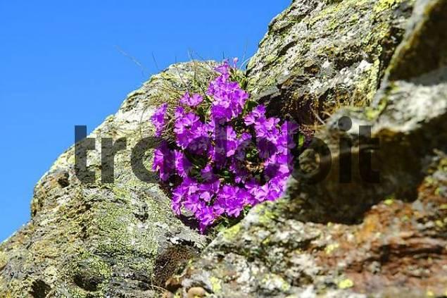 Stinking Primerose Primula hirsuta Alps
