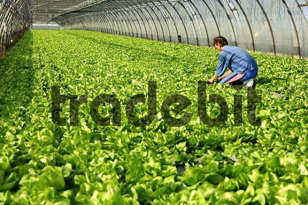Cultivation of lettuce in a hothouse