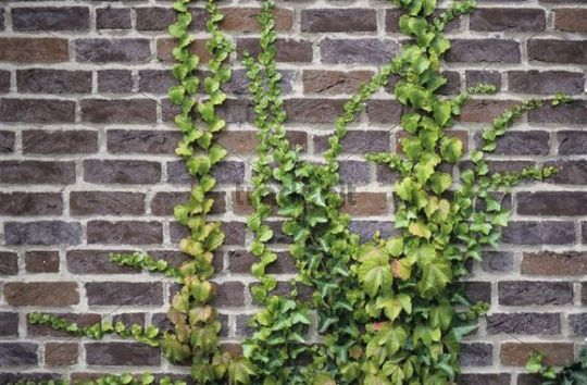Common Ivy Hedera helix and Japanese Ivy Parthenocissus tricuspidata growing on a brick wall