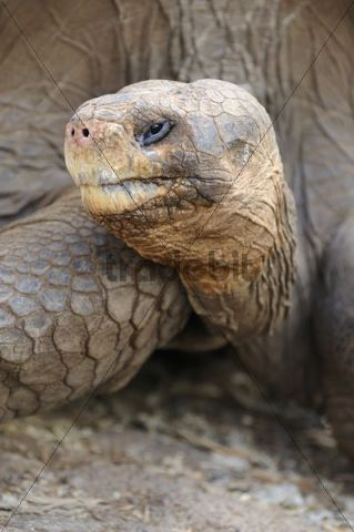 Head portrait of a Galapagos Giant Tortoise Geochelone elephantopus, Galapagos, Ecuador, South America