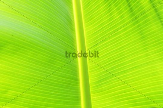 Leaf of a banana plant, close up, full frame