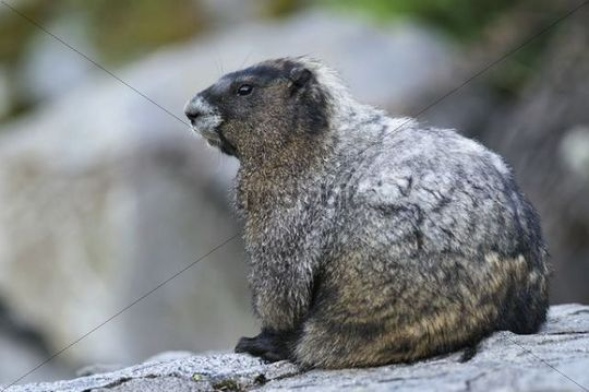 Marmot Marmota on a cliff, Mt. Rainier National Park, Washington, USA, North America