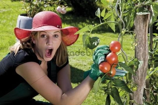 Surprised female gardener harvesting tomatoes