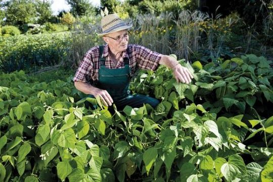 Gardener in front of his patch of bush beans