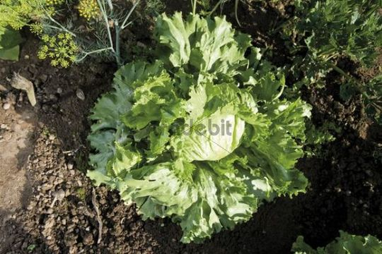 Iceberg lettuce in a bed
