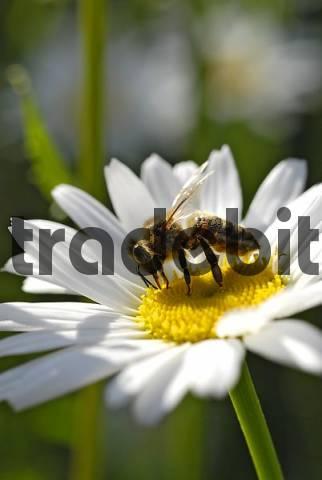 margerite chrysanthemum maximum