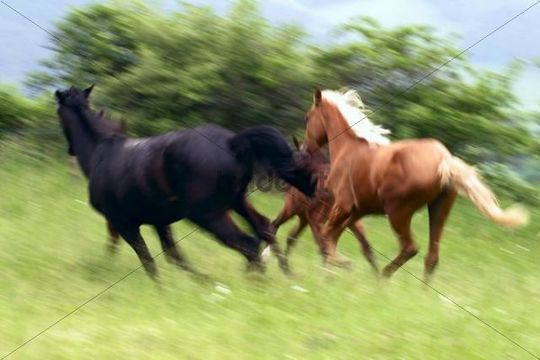Running horses, Doubravy, Hradec nad Moravici, North Moravia, Czech Republic, Europe