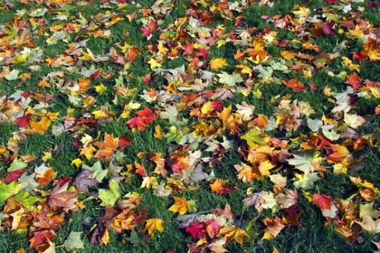 Maple leaves Acer spec., colourful autumn foliage on the ground