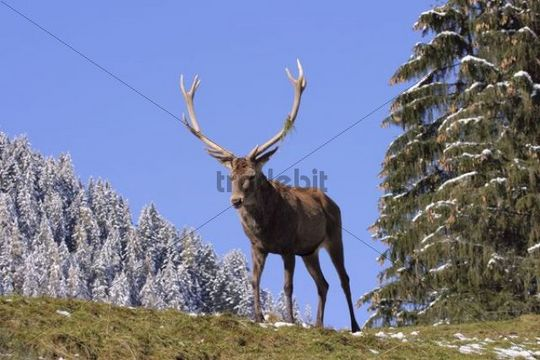 Red Deer Cervus elaphus, Austria, Europe