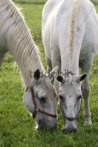 White Kladruber horses from Kladruby nad Labem national stud farm, Pardubice region, Bohemia, Czech Republic, Europe