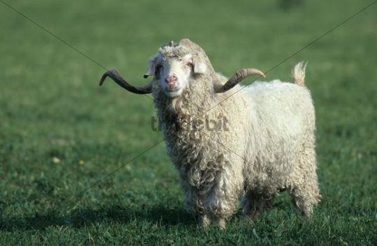 Mohair or Angora Goat