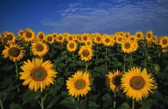 Sunflowers Helianthus annuus, Lower Austria, Europe
