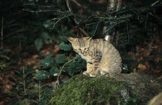 Wildcat Felis silvestris, young animal
