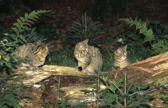 Wildcats Felis silvestris, kittens