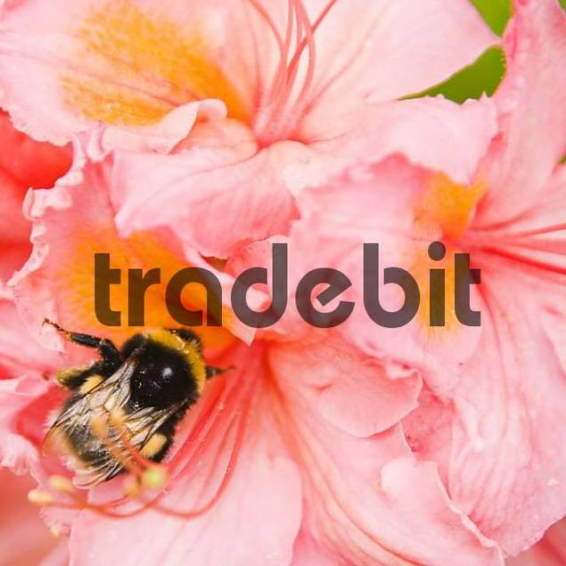 Bombus terrestris on a bloom