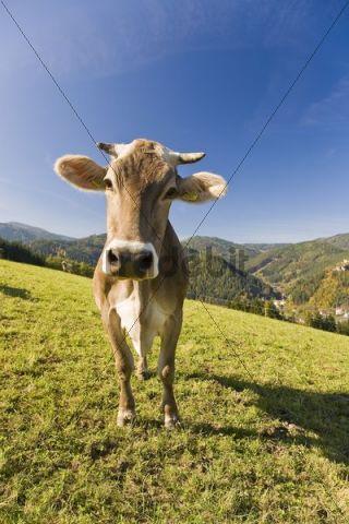 Portrait of a dairy cow on grazing land, St. Stefan ob Leoben, Styria, Austria